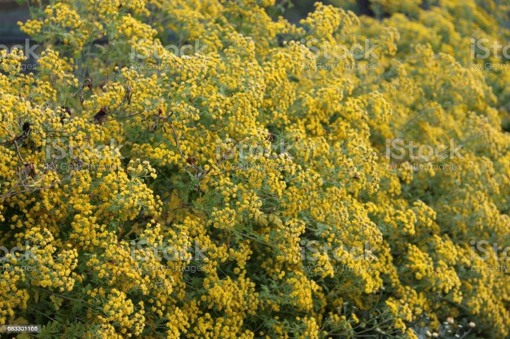Yellow little flowers background foto stock royalty-free