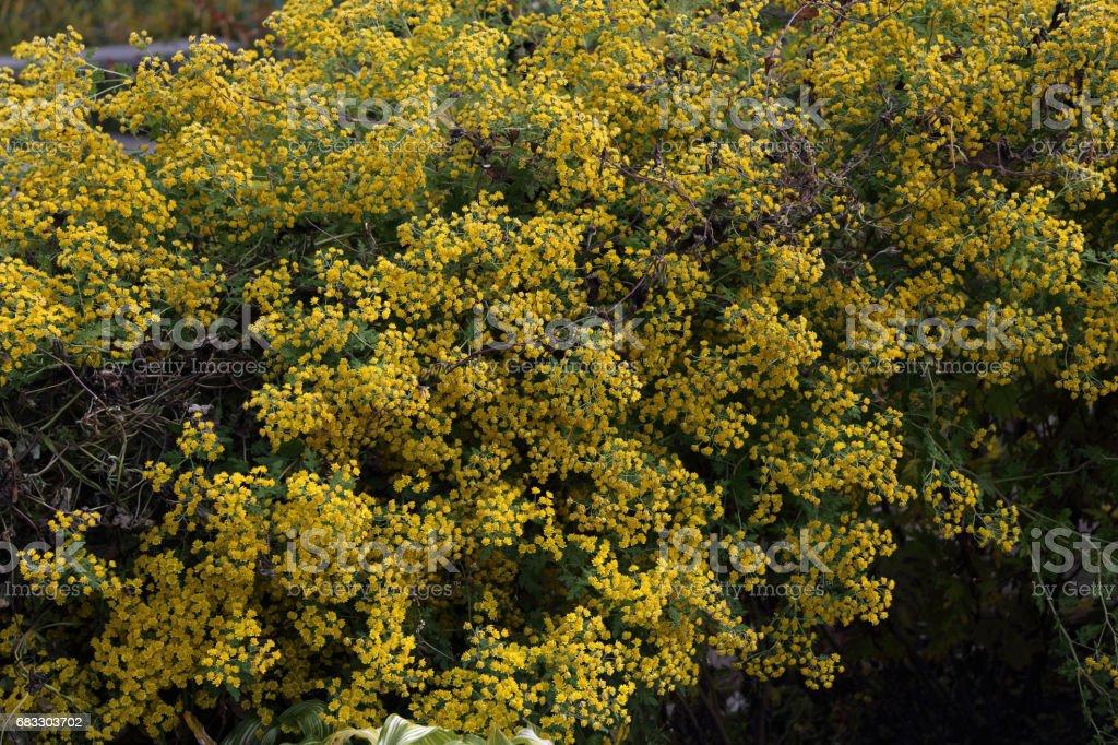 Yellow little flowers background zbiór zdjęć royalty-free