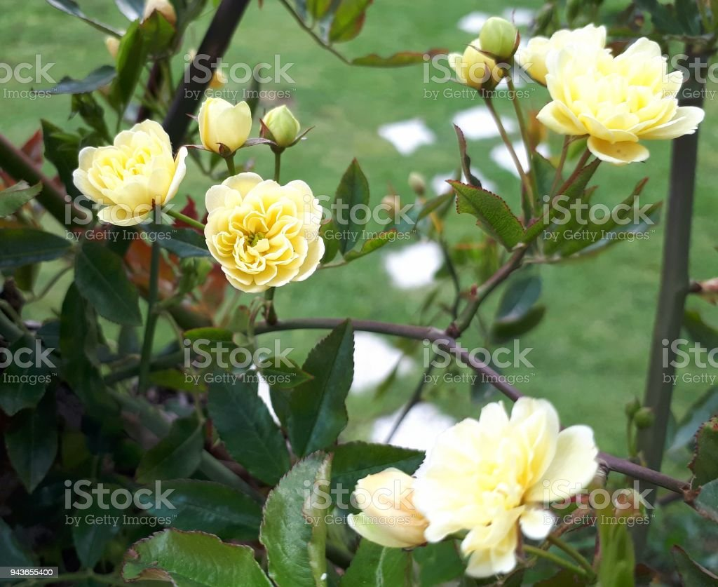 Yellow Little Roses And Green Grass Stock Photo More Pictures Of