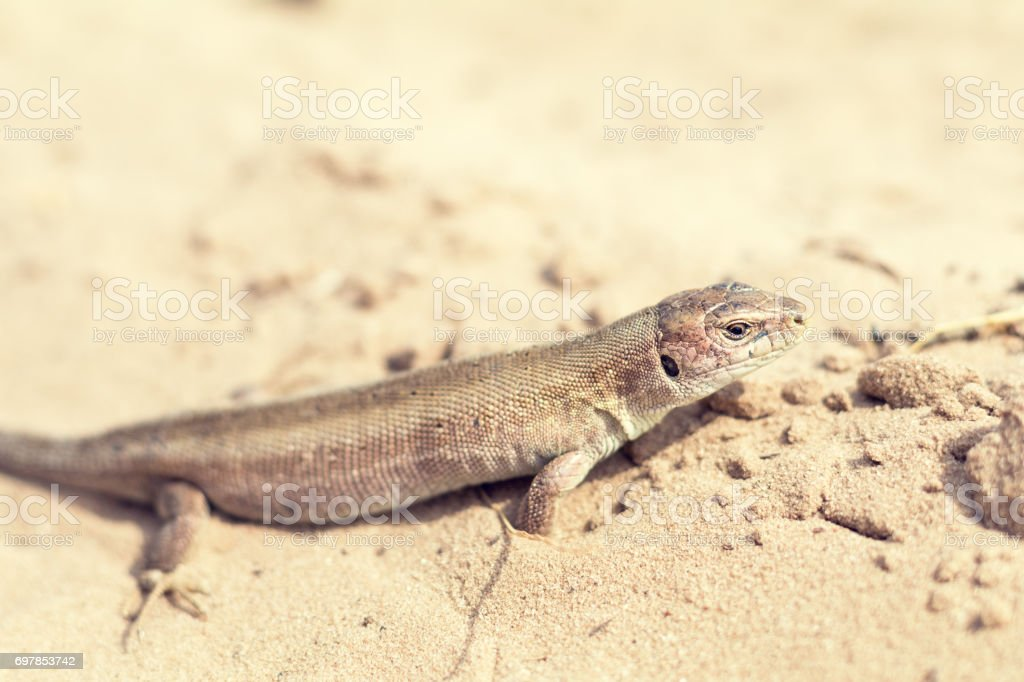 Yellow lizard in nature royalty-free stock photo
