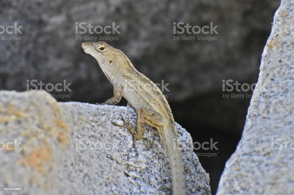 Yellow Lizard in Profile stock photo