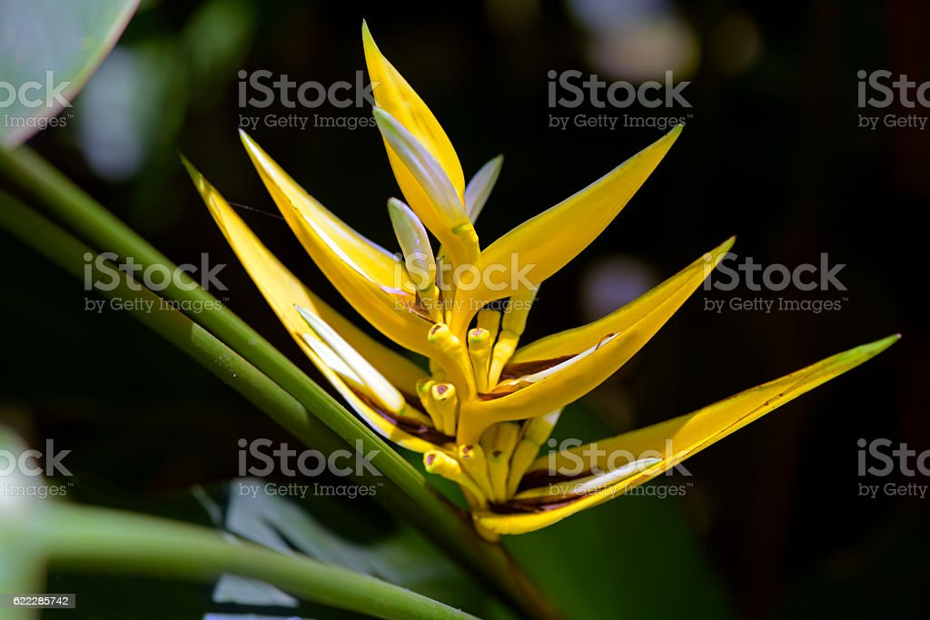 Yellow lobster-claw flower on forest stock photo
