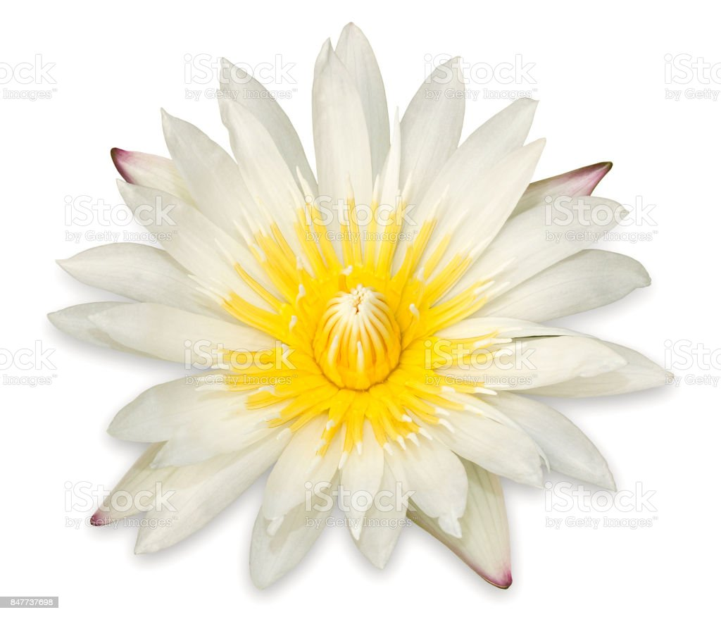 Yellow Lotus Flower Isolated On White Background Stock Photo More