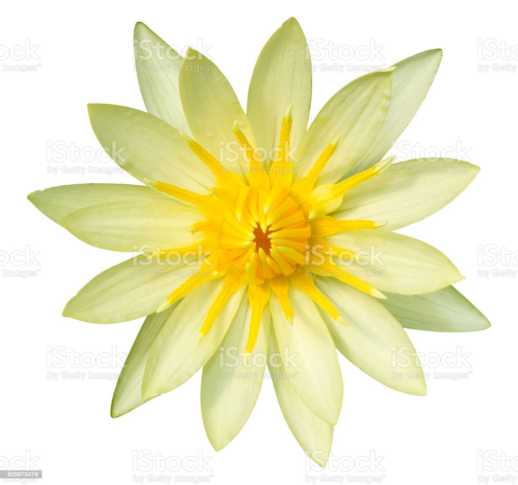 Yellow Lotus Flower Isolated On White With Clipping Path Stock Photo