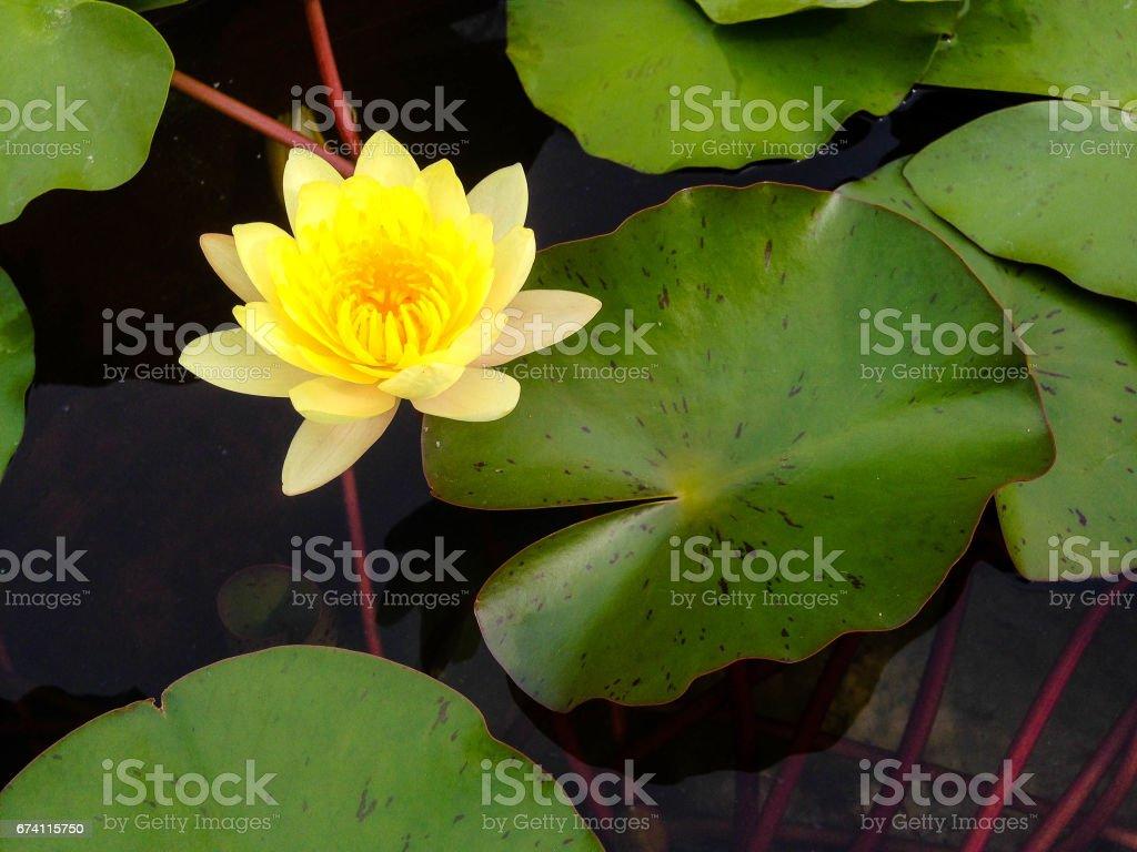 Yellow Lotus flower royalty-free stock photo