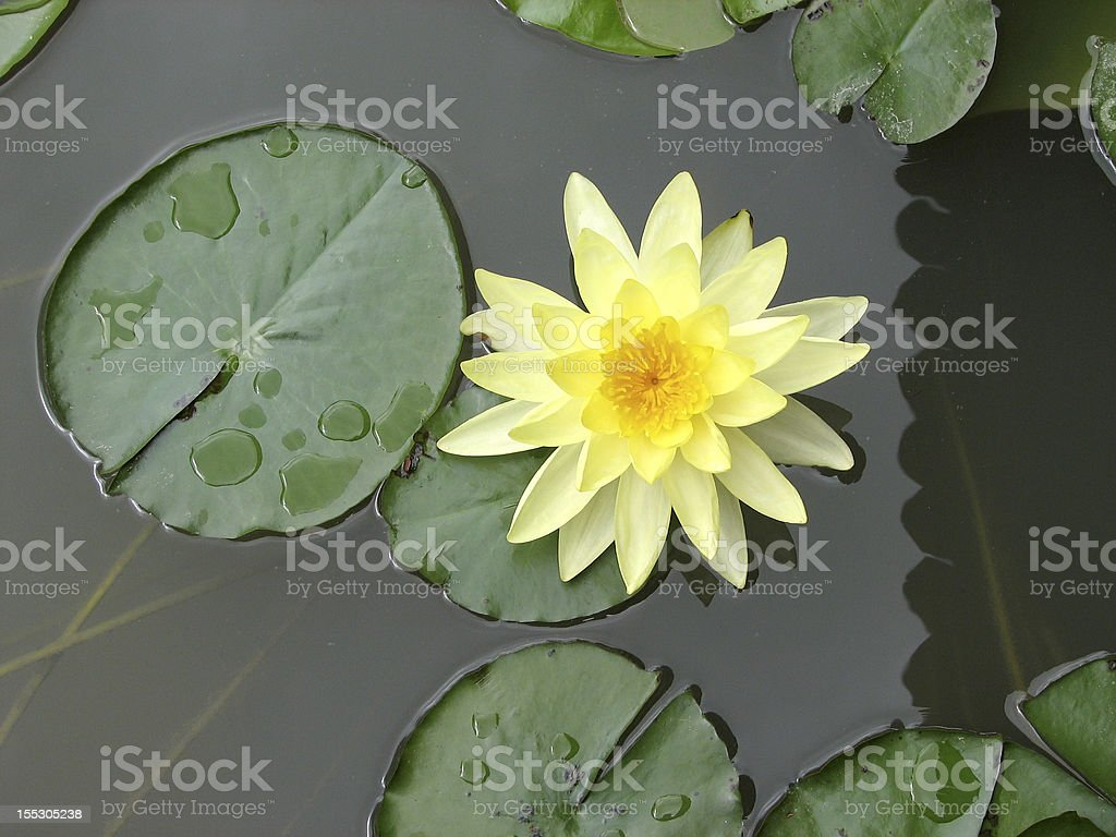 Yellow Lotus Stock Photo Istock