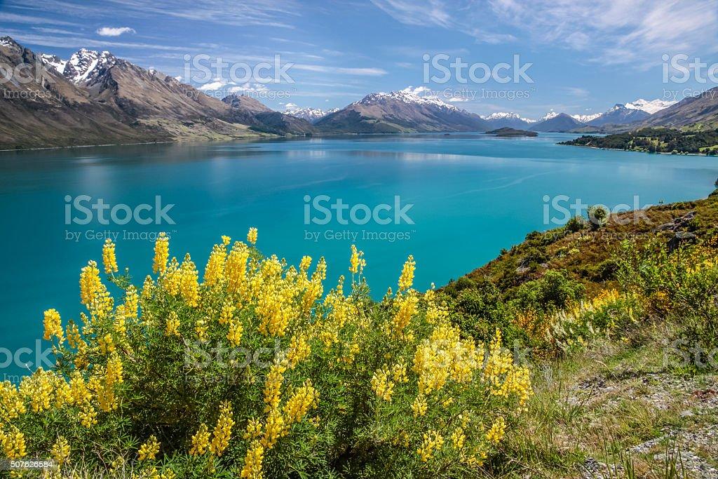Yellow lupines at Lake Wakatipu stock photo