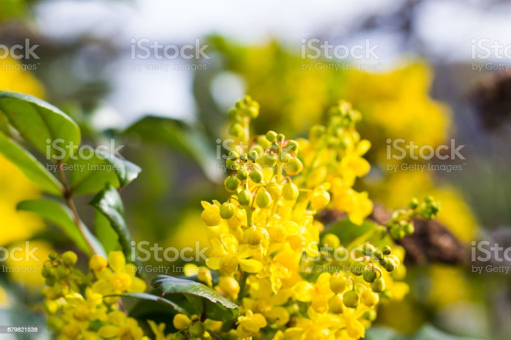 Yellow Mahonia Flowers stock photo