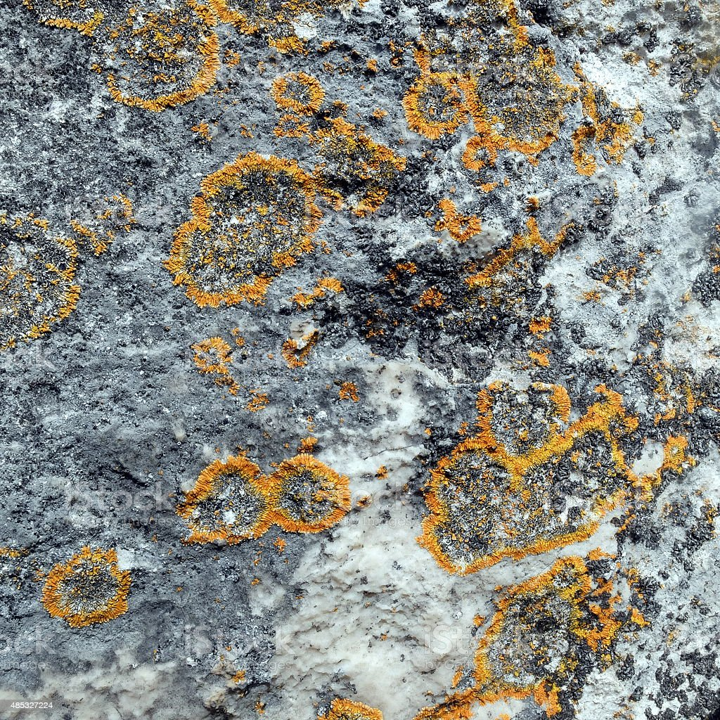 Yellow map lichens stock photo