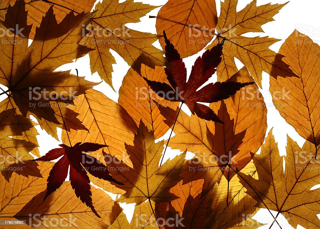 Yellow Maple and Beech Leaves Texture royalty-free stock photo