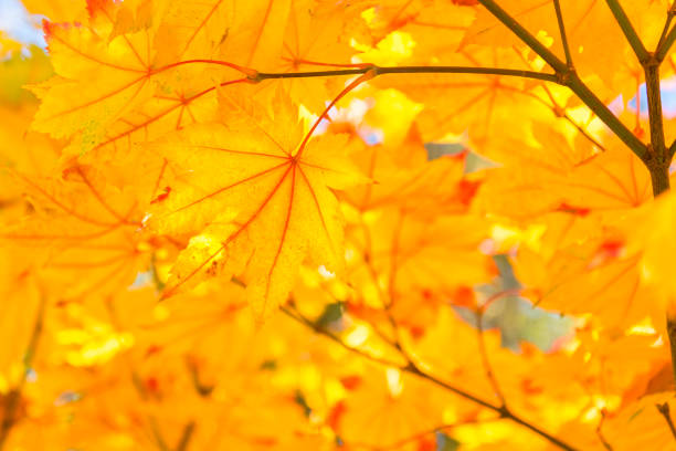 Yellow Maple autumn foliage