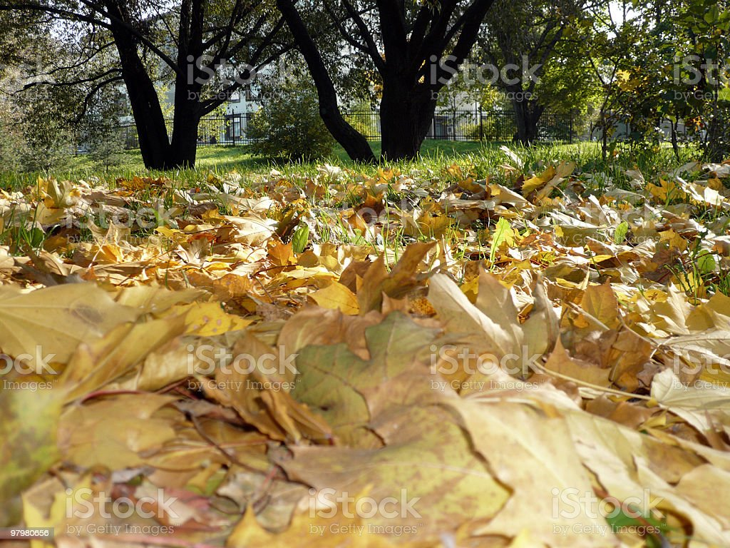 yellow maple carpet royalty-free stock photo