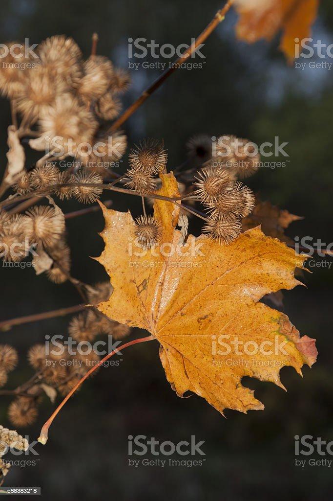 Yellow Maple Leaf and Burdock Burrs, Autumn stock photo