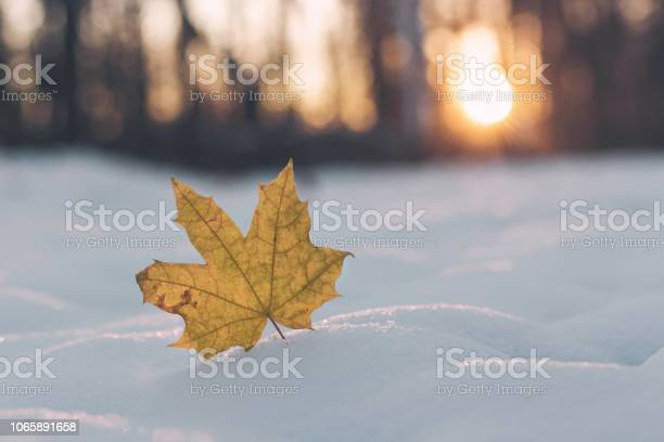 Photo of Yellow maple leaf in snow. Late fall and early winter. Goodbye autumn.