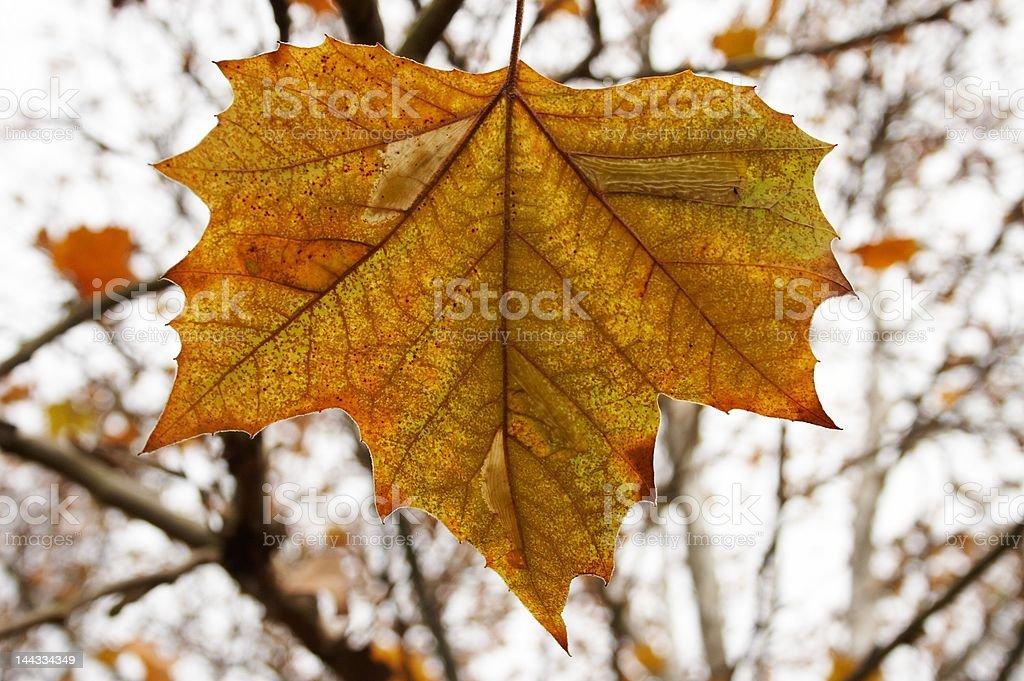 Yellow maple leaf isolated stock photo