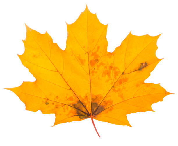 yellow maple leaf on a white background is the most commonly used sun symbol yellow maple leaf on a white background is the most commonly used sun symbol. autumn leaf color stock pictures, royalty-free photos & images