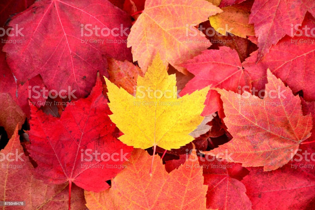 A yellow maple leaf on top of a pile of red leaves, in the center of the frame stock photo