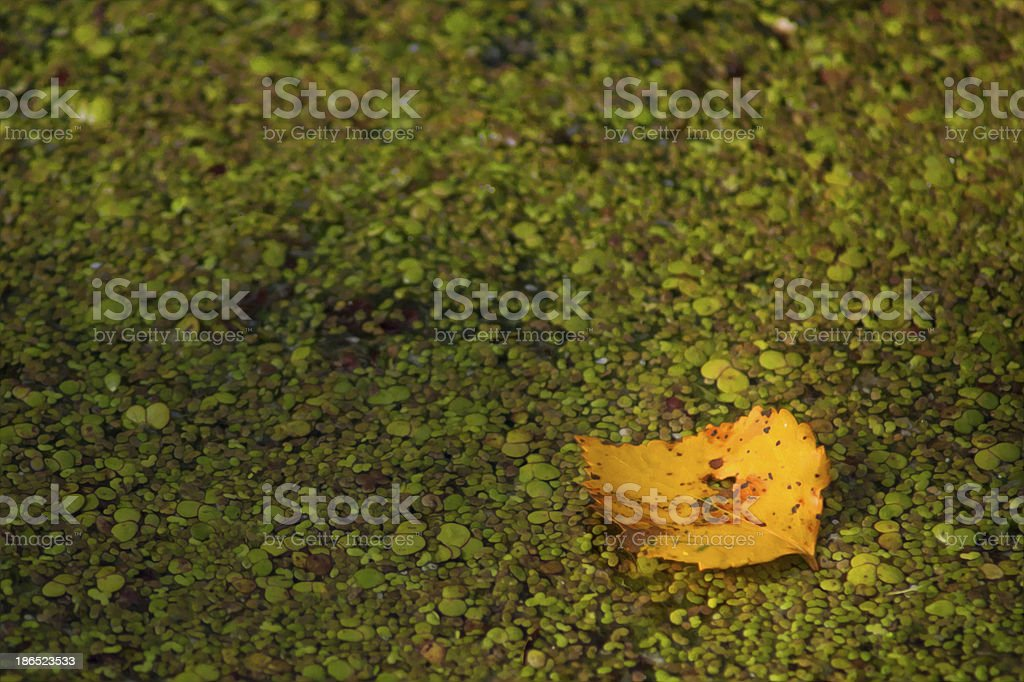 Yellow maple leaf royalty-free stock photo