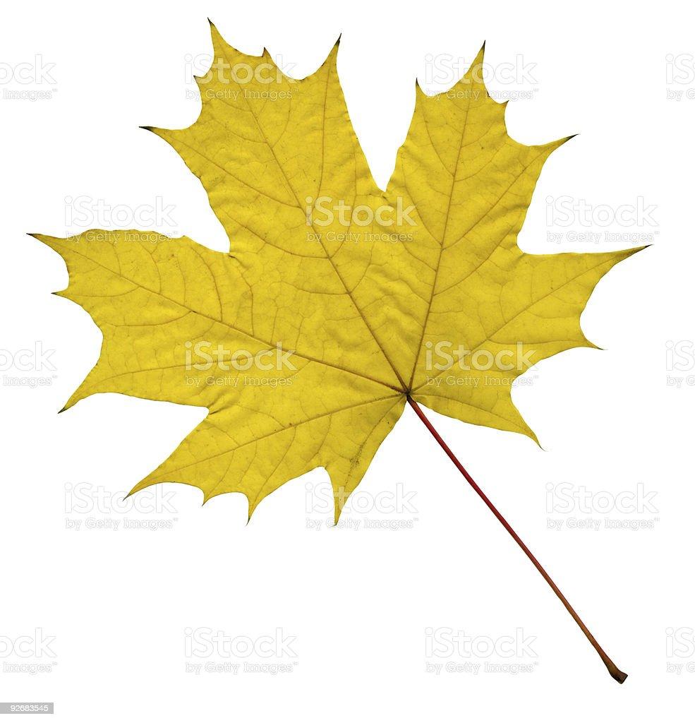yellow maple leaf stock photo