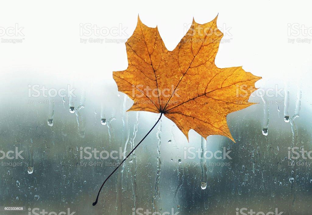 yellow maple leaf stuck wet the glass window rain drops stock photo