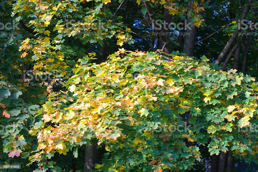 yellow maple leafs on tree royalty-free stock photo