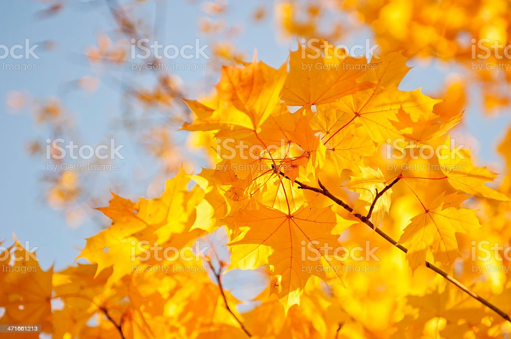 Yellow maple leaves against the sky royalty-free stock photo