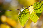 Yellow maple leaves, autumnal natural background, selective focus Fall bokeh. Close-up