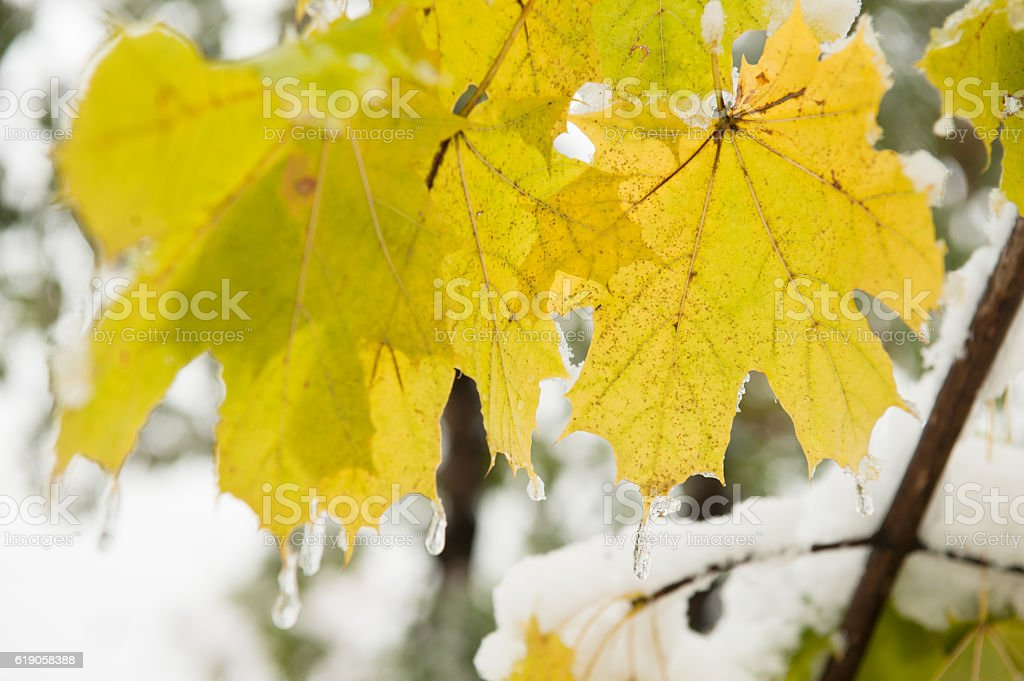 yellow maple leaves covered with ice growing on a tree stock photo