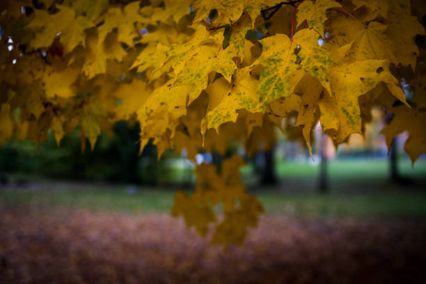 Yellow maple leaves in a park in autumn stock photo