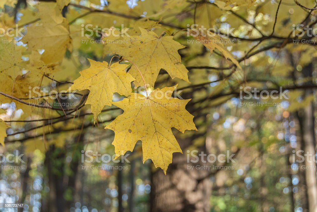 Yellow Maple Leaves In Autumn stock photo