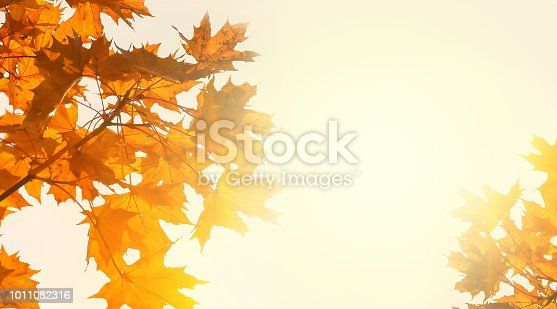 istock Yellow maple leaves on the background of sunny autumn sky. Autumn foliage background. Copy space 1011082316