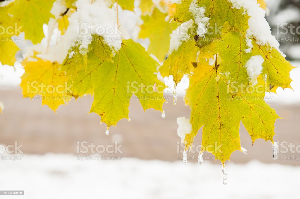 yellow maple leaves on   tree covered with ice background   road stock photo