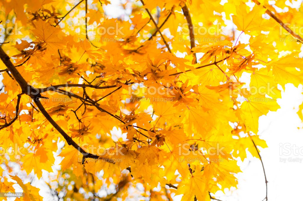 Yellow maple leaves royalty-free stock photo