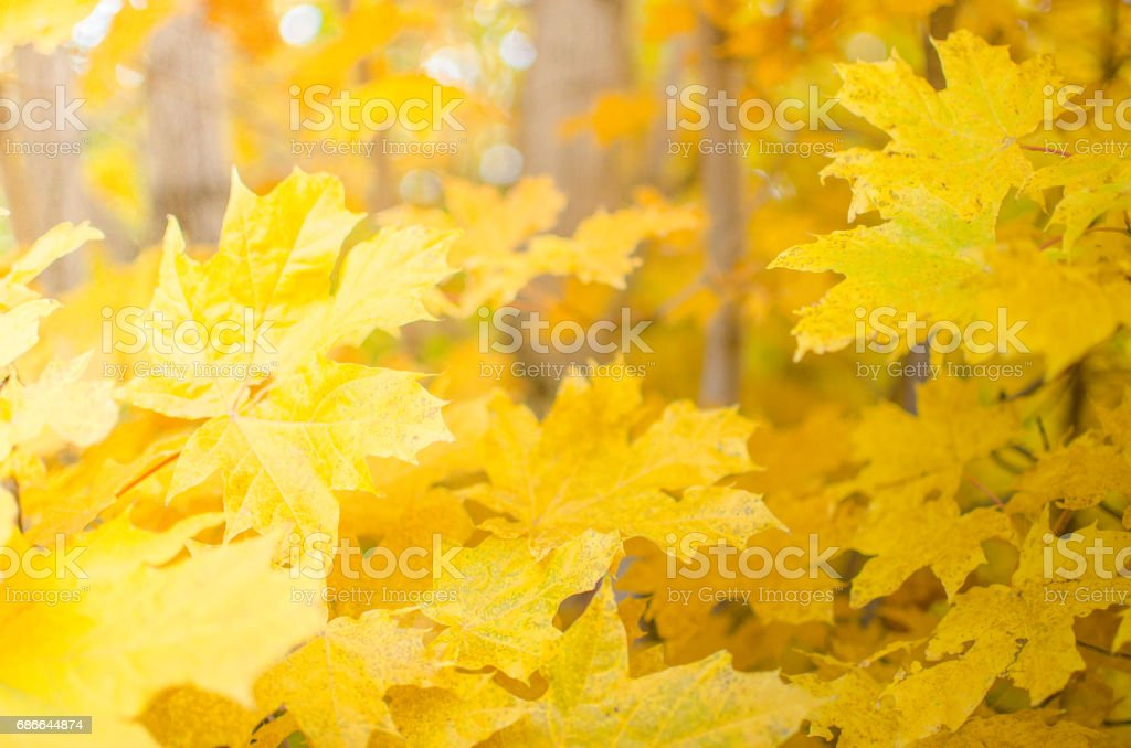 Yellow maple leaves foto de stock libre de derechos