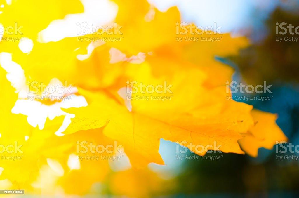 Yellow maple leaves Стоковые фото Стоковая фотография