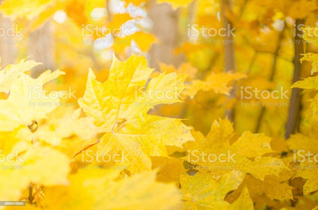 Yellow maple leaves Lizenzfreies stock-foto