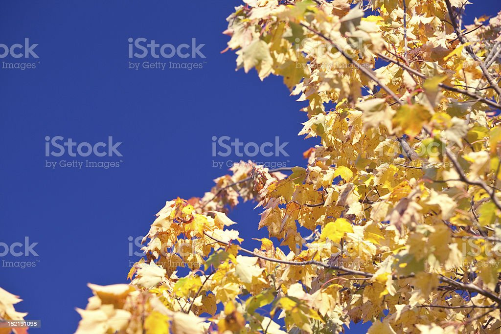 Yellow maple on royal blue sky royalty-free stock photo
