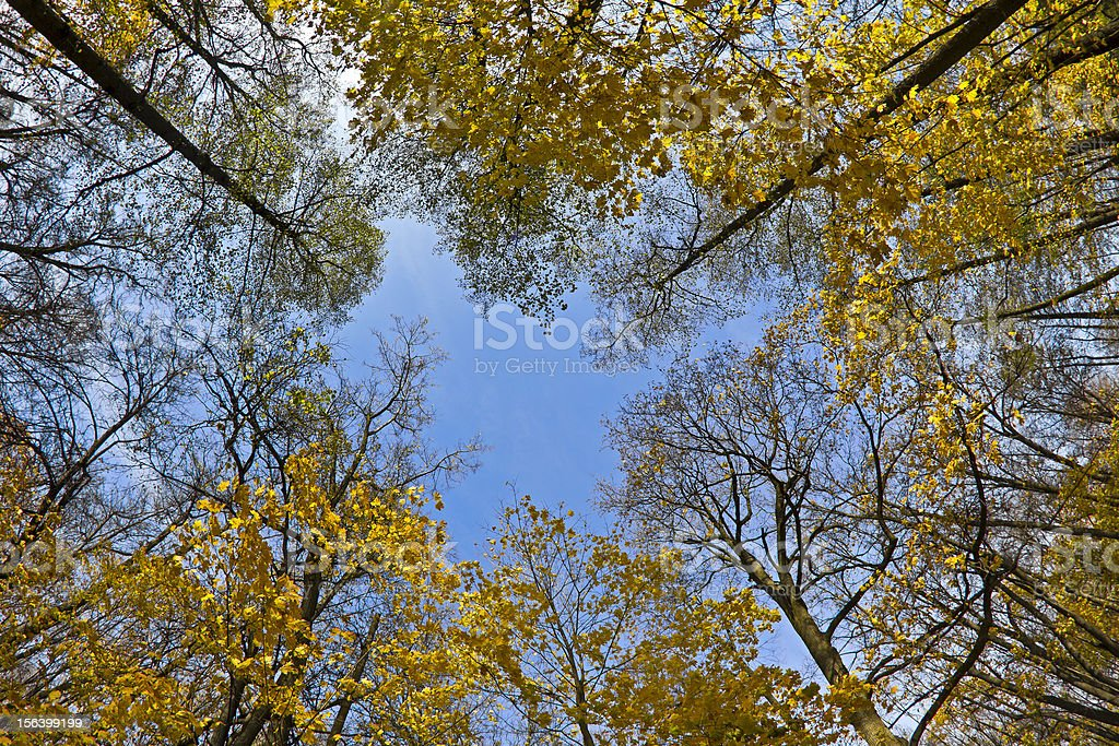 Yellow maples and blue sky royalty-free stock photo