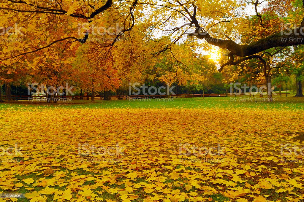 Yellow mapple leaves stock photo