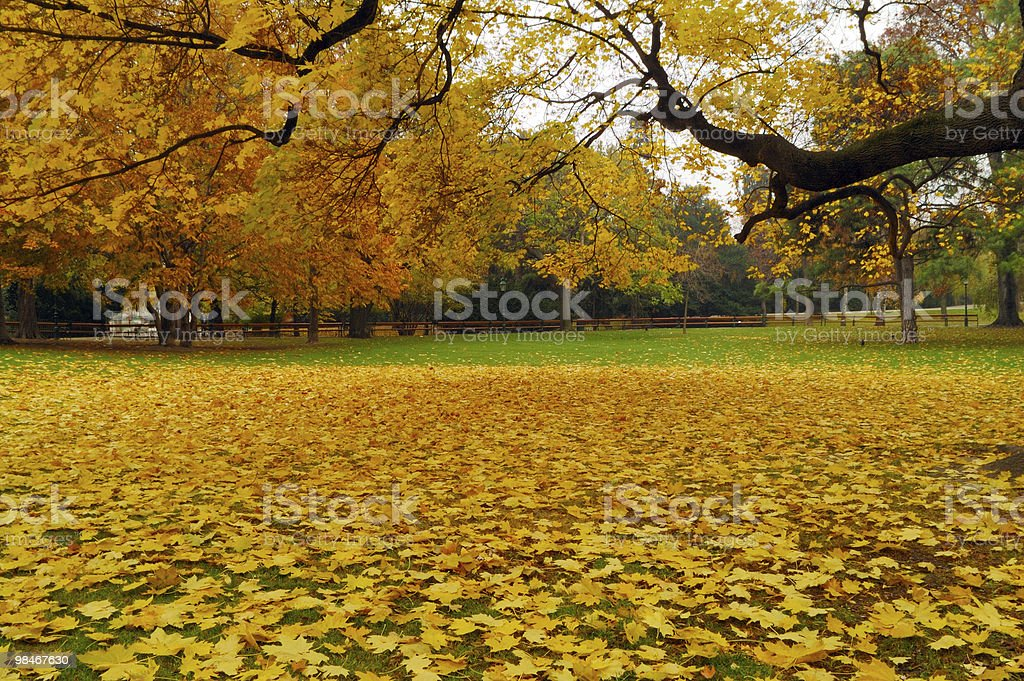 Yellow mapple leaves royalty-free stock photo