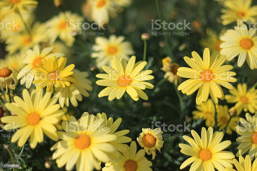 Yellow Margarita Flower Stock Photo & More Pictures of Bouquet | iStock