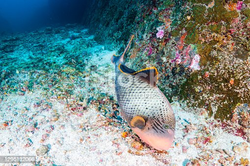 Yellow Margin Triggerfish on a Coral Reef in the Andaman Sea.