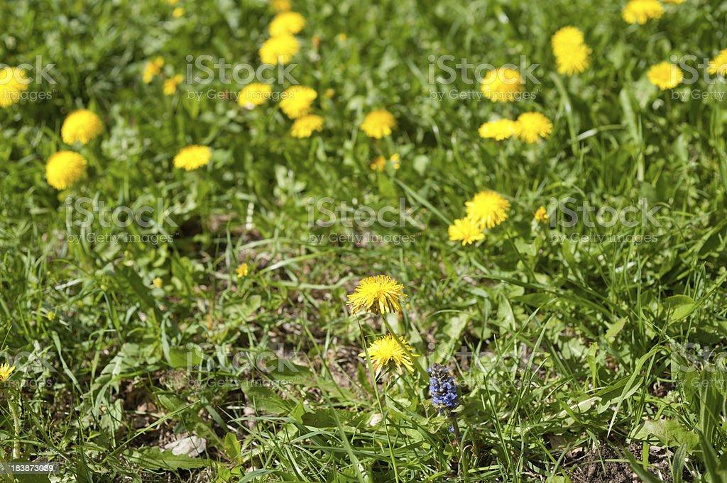 Yellow Marguerite stock photo