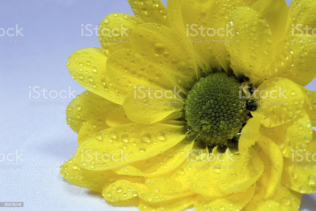 yellow marguerite royalty-free stock photo