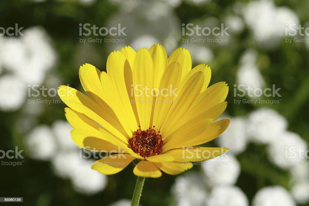 Caléndula amarillo y blanco flores 1 foto de stock libre de derechos