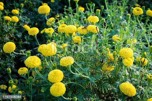 Yellow marigold flower farm stock photo