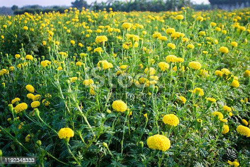 Yellow marigold flower farm stock photo