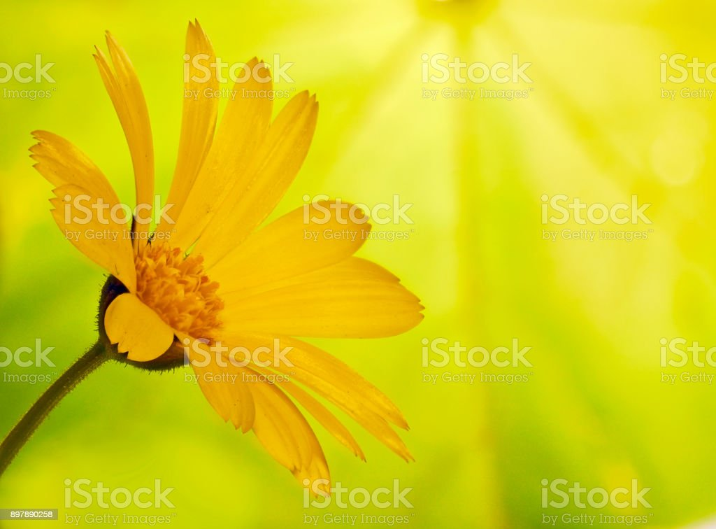 A yellow marigold flower on blured background of a maple leaf stock photo