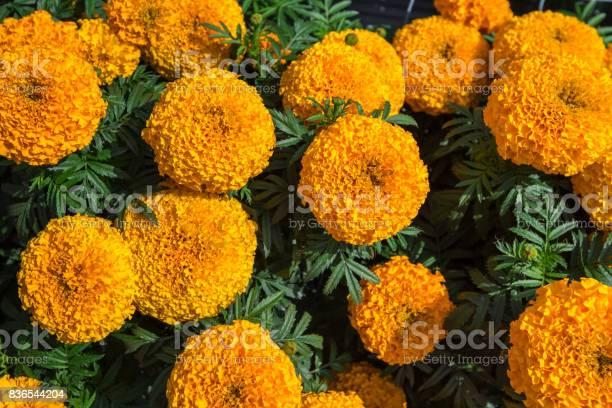 Yellow marigold flower plant in garden picture id836544204?b=1&k=6&m=836544204&s=612x612&h=rzgolptstijsiz 2fwmiv5copxas xjxr1bxcodpgrs=