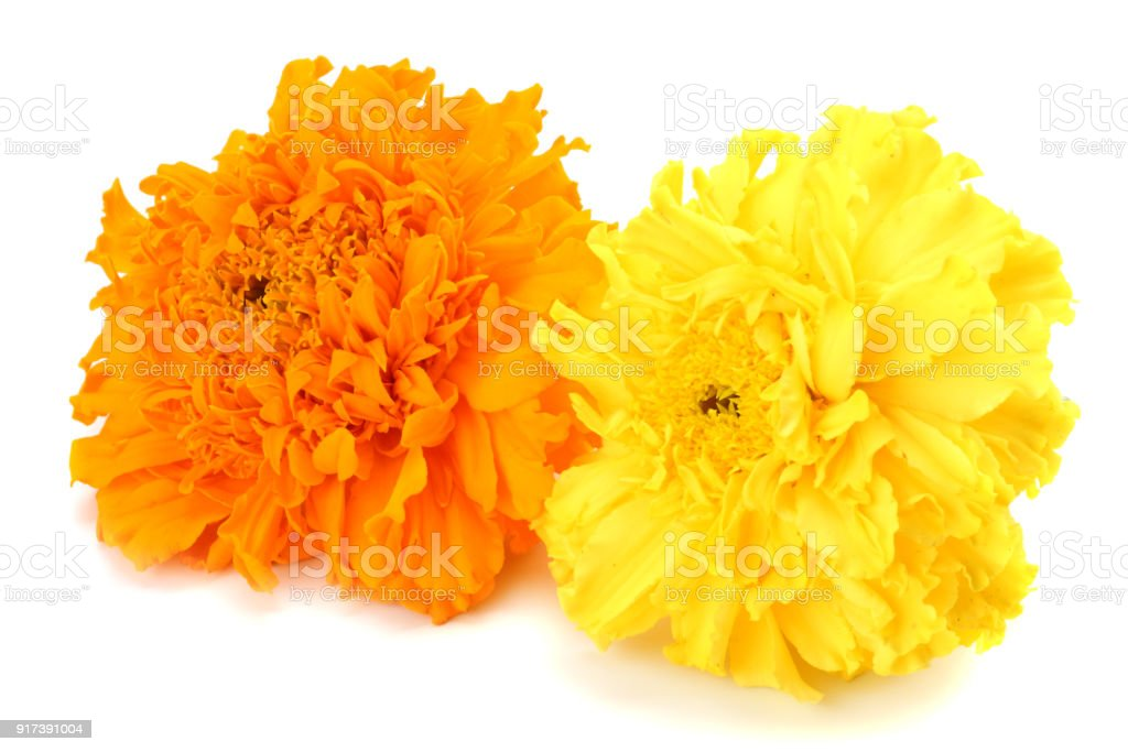 Yellow marigold flower tagetes erecta mexican marigold aztec yellow marigold flower tagetes erecta mexican marigold aztec marigold african marigold isolated mightylinksfo